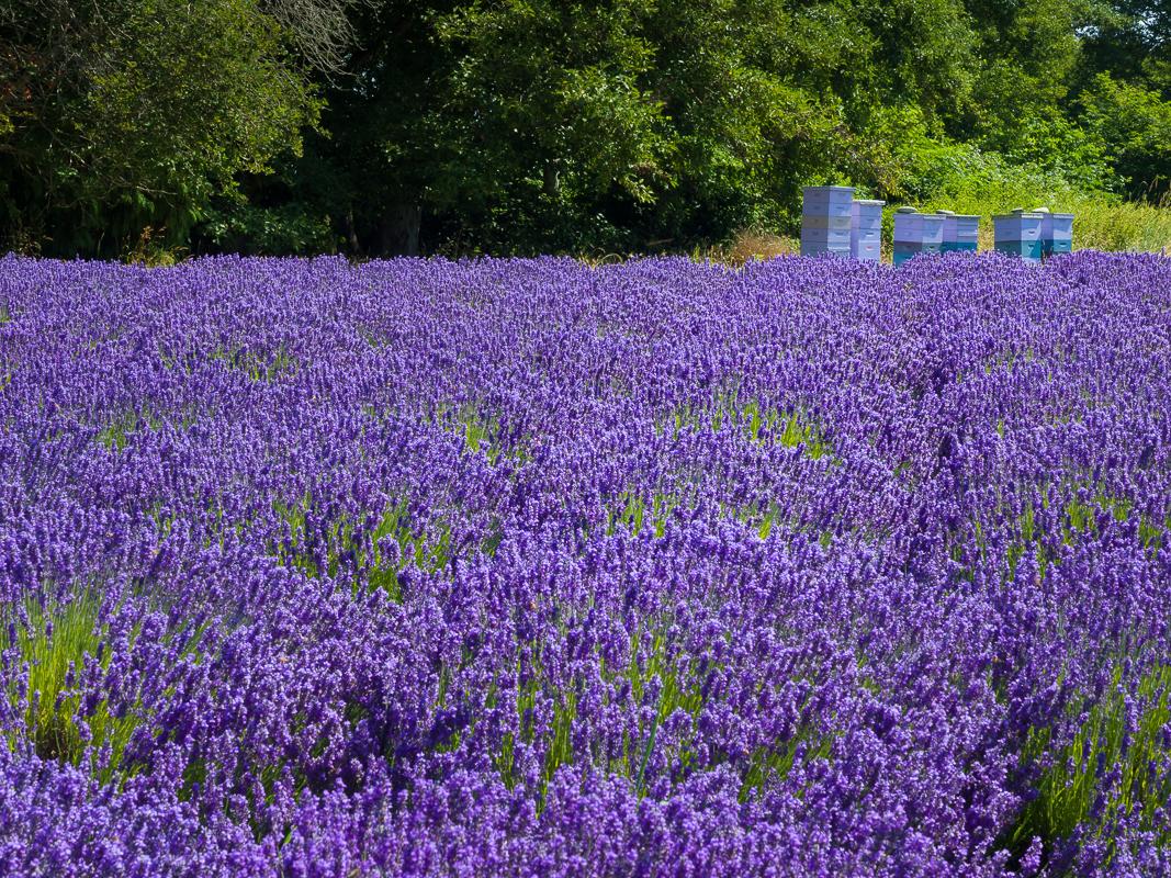 Sequim lavender fields bacon 39 s blog for Jardin soleil